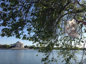 Last Blossoms Washington Tidal Basin Copyright Shelagh Donnelly