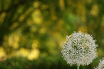 Allium 0297 Copyright Shelagh Donnelly
