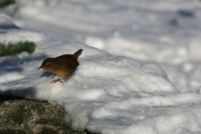 winter-bird-2416-copyright-shelagh-donnelly