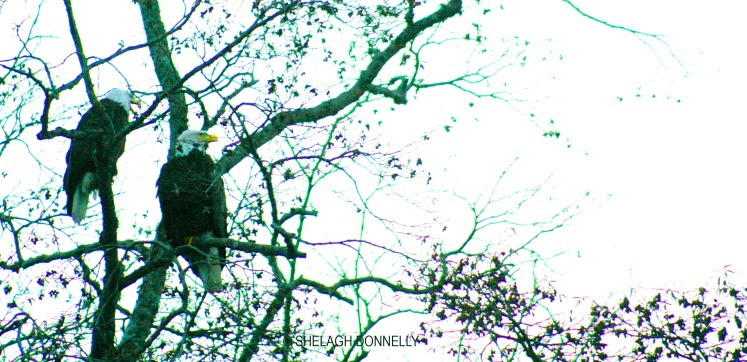christmas-day-eagle-2745-copyright-shelagh-donnelly