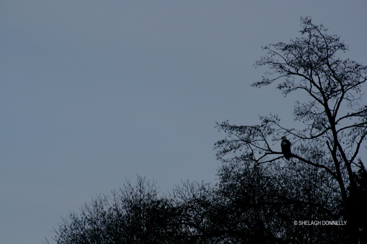 christmas-day-eagle-silhouette-2750-copyright-shelagh-donnelly