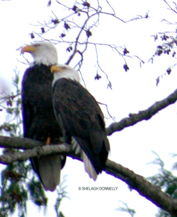 christmas-day-eagles-2751-close-copyright-shelagh-donnelly