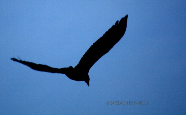 eagle-silhouette-copyright-shelagh-donnelly