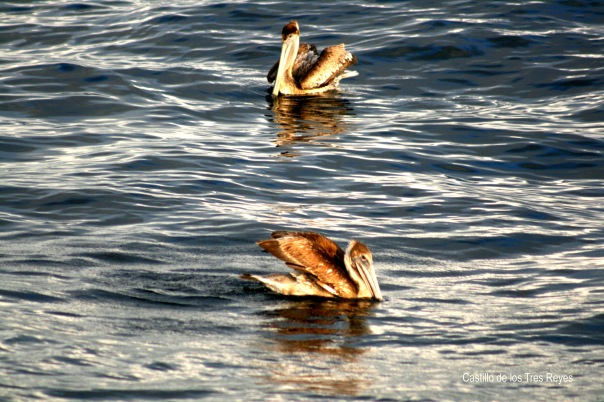 havana-pelicans-17-4417-copyright-shelagh-donnelly