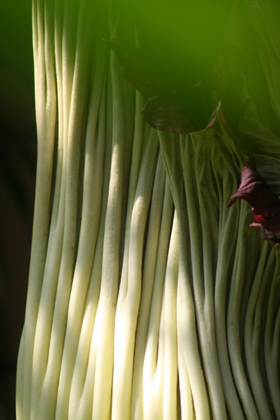 18_0344 Corpse-Flower-Copyright-Shelagh-Donnelly