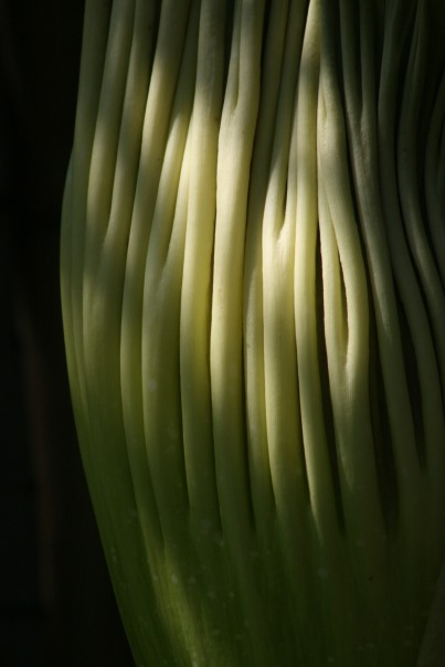 18_0345 Corpse-Flower-Copyright-Shelagh-Donnelly