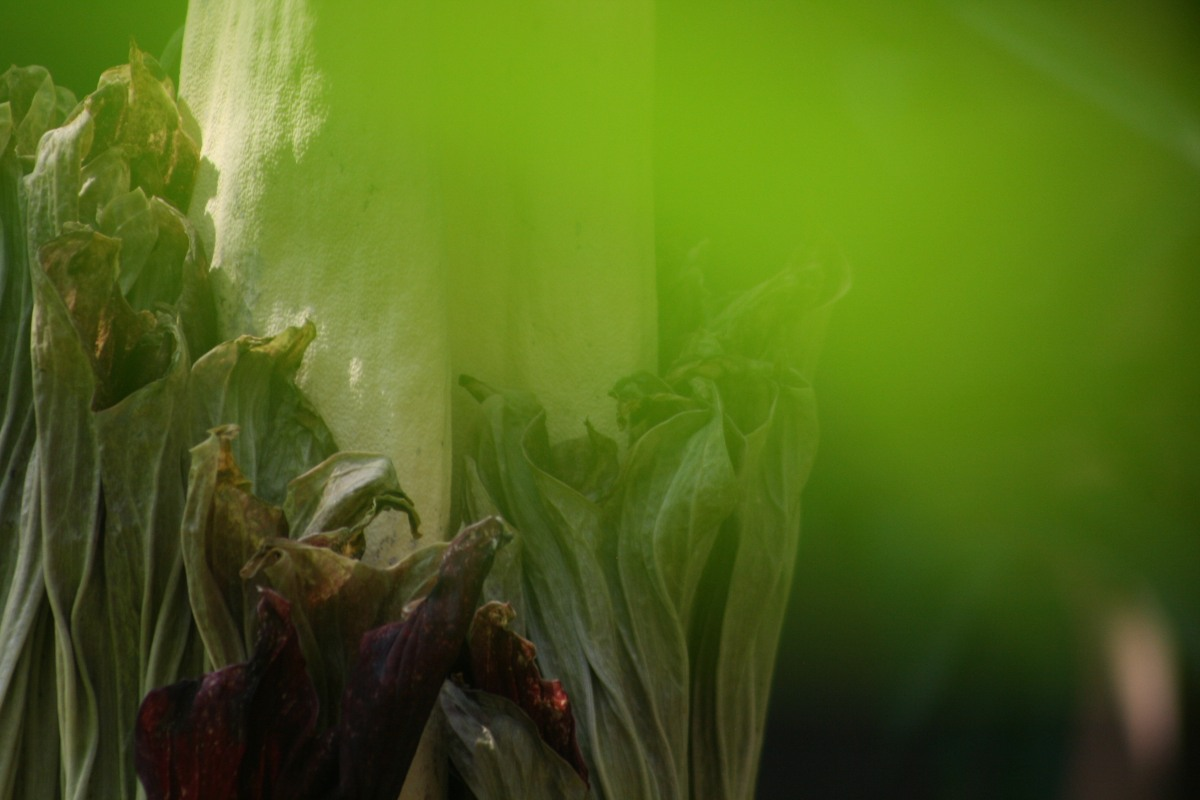 Vancouver's Not-So-Smelly Corpse Flower Is Nonetheless Impressive