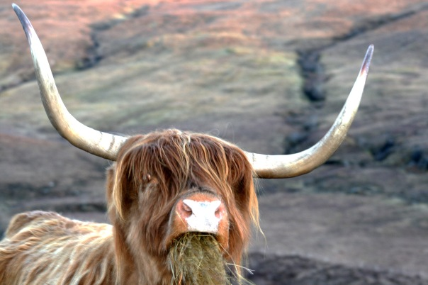 18_9294 Highland_Cow_Eating_Isle_Of_Skye Copyright Shelagh Donnelly